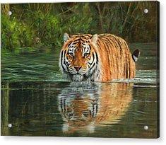 Keeping Cool Acrylic Print by David Stribbling