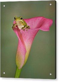 Kermit Peeking Out Acrylic Print by Susan Candelario