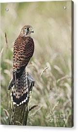 Kestrel Acrylic Print by Tim Gainey