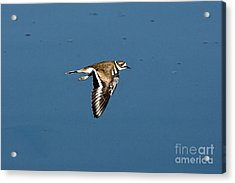 Killdeer In Flight Acrylic Print by Anthony Mercieca