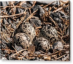 Killdeer Nest Acrylic Print by Lara Ellis