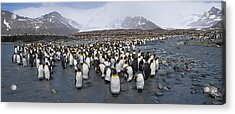 King Penguins Aptenodytes Patagonicus Acrylic Print by Panoramic Images