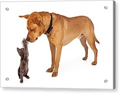 Kitten Batting At Nose Of Large Breed Dog Acrylic Print by Susan Schmitz