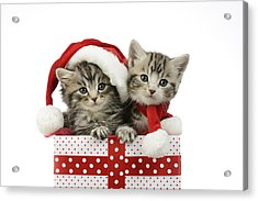 Kitten In Presents Acrylic Print by Greg Cuddiford
