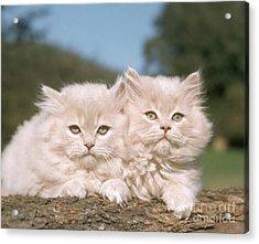 Kittens Acrylic Print by Hans Reinhard