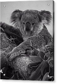Koala Acrylic Print by Chris Flees