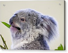 Koala Close Up Acrylic Print by Chris Flees