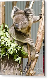 Koala Acrylic Print by Steven Ralser