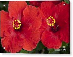Kokio Ulaula - Tropical Red Hibiscus Acrylic Print by Sharon Mau