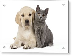 Labrador Puppy With Chartreux Kitten Acrylic Print by Jean-Michel Labat