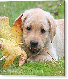 Labrador Retriever Puppy With Autumn Leaf Acrylic Print by Jennie Marie Schell