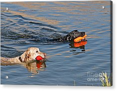 Labrador Retrievers In Pond Acrylic Print by William H. Mullins