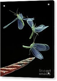 Lacewing Taking Off Acrylic Print by Stephen Dalton