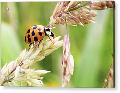 Lady Bug On A Warm Summer Day Acrylic Print by Andrew Pacheco