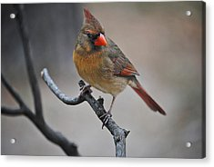 Lady Cardinal Acrylic Print by Skip Willits