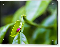 Ladybug Cup Acrylic Print by Marvin Spates