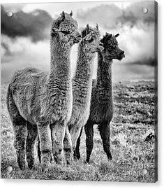Lama Lineup Acrylic Print by John Farnan