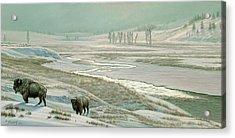 Lamar Valley - Bison Acrylic Print by Paul Krapf