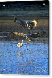 Landing Sandhill Cranes Acrylic Print by Steven Ralser