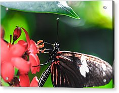 Laparus Doris Butterfly Acrylic Print by Optical Playground By MP Ray
