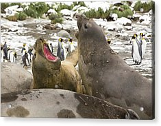 Large Bull Southern Elephant Seal Acrylic Print by Ashley Cooper