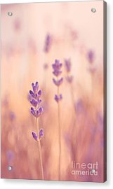 Lavandines 02 - S09a Acrylic Print by Variance Collections