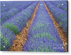 Lavendel 2 Acrylic Print by Arterra Picture Library