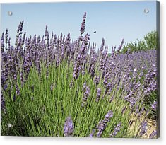 Lavender And The Bee Acrylic Print by Pema Hou