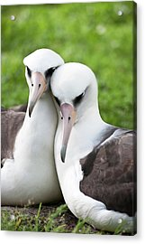 Laysan Albatross (phoebastria Acrylic Print by Daisy Gilardini