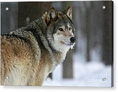 Leader Of The Pack Acrylic Print by Inspired Nature Photography Fine Art Photography