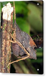 Leaf Mimic Katydid Acrylic Print by Dr Morley Read