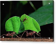Leafcutter Ant Atta Sp Group Workers Acrylic Print by Michael and Patricia Fogden