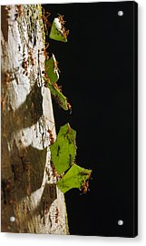 Leafcutter Ant Carrying Leaves Costa Acrylic Print by Konrad Wothe