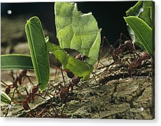 Leafcutter Ants Carrying Leaves Barro Acrylic Print by Mark Moffett
