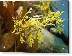 Leafy Sea Dragon Acrylic Print by Shane Kelly