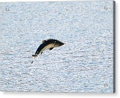 Leaping Chinook Acrylic Print by Mike  Dawson