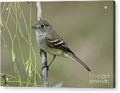 Least Flycatcher Acrylic Print by Anthony Mercieca