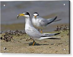 Least Tern (sterna Antillarum, Offering Acrylic Print by Larry Ditto
