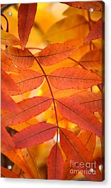 Leaves Of Gold Acrylic Print by Deb Halloran