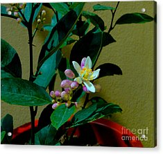 Lemon Tree Flower Acrylic Print by Al Bourassa