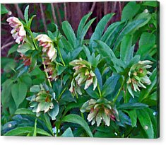 Lenten Roses Acrylic Print by Jean Hall