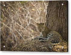 Leopard In Its Environment Acrylic Print by Alison Buttigieg