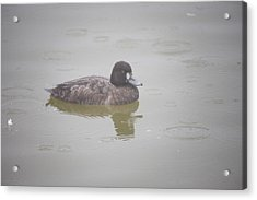 Lesser Scaup Female Acrylic Print by Graham Foulkes
