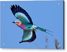 Lilac-breasted Roller In Flight Acrylic Print by Johan Swanepoel