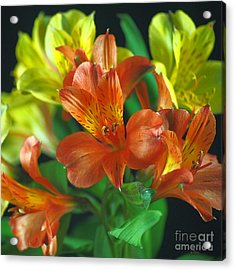 Lillies Galore Acrylic Print by Wobblymol Davis