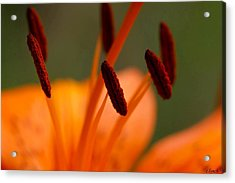 Lily Acrylic Print by Carol Lynch