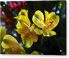 Lily Of The Incas Acrylic Print by Kurt Van Wagner