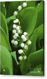 Lily-of-the-valley  Acrylic Print by Elena Elisseeva