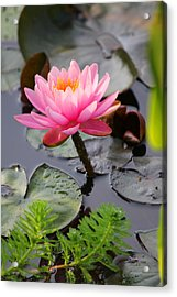 Lily Pink Acrylic Print by Carolyn Stagger Cokley