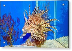 Lion Fish Acrylic Print by Aimee L Maher Photography and Art Visit ALMGallerydotcom